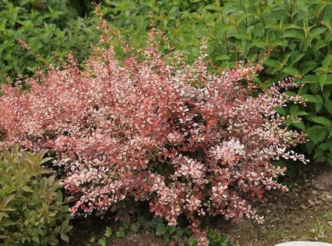 Барбарис Тунберга Роуз Глоу (Berberis thunbergii Rose Glow)