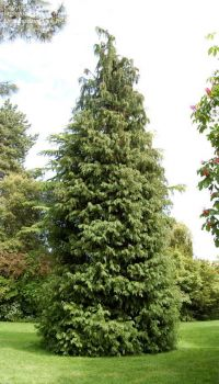 Кипарисовик Лавсона (Chamaecyparis lawsoniana)
